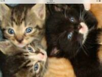 For sale ready now kittens male and female good home all coulors from £70 to £120 got greys etc