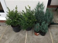 Plants - 2 x box and 4 conifers in pots