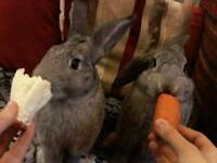 2 giant chinchilla rabbit's
