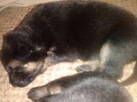 4 German shepherd pups