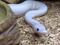 Ball Python - Female - White Superfire