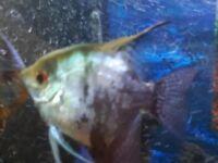 Angelfish to sale