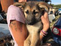Alsatian puppy GIRL for sale