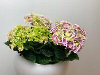 Unique bicolor hydrangea flower plant