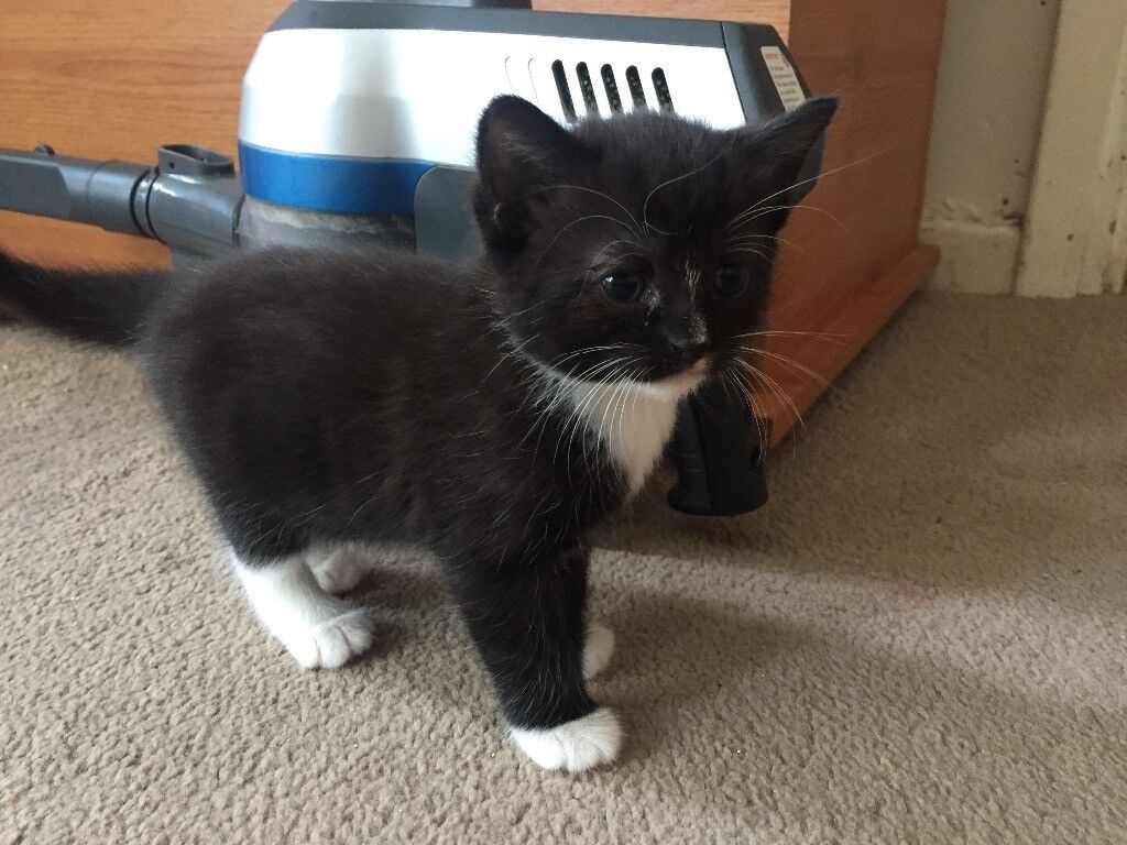 Both reserved: Grey and White Kitten and a Black and White Kitten From £70