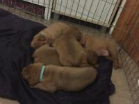 Dog De Bordeaux Pups