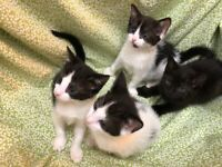 Adorable fluffy kittens 3 Available