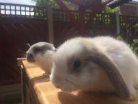 Mini Lop rabbits for sale £25