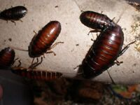 Young/Juvenile Giant Madagascan Hissing Cockroaches
