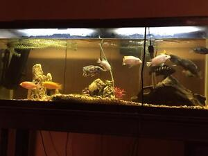 60 Gallon tank complete with fish