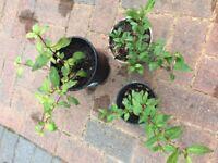 Perennial Fuchsia plant for the garden £3 each