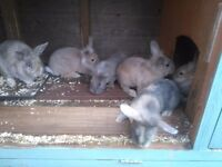 Baby rabbits for sale.SG 6 4NZ - £10 each.Ready now