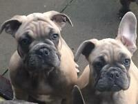KC registered blue fawn French Bulldogs