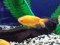 Ranchu Fancy Goldfish