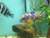 Fish African Cichlids Malawi Ob Peacocks Size is 2 Inch