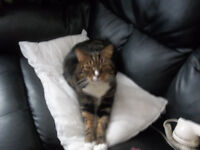 Large adult tabby cat missing since 26th of september 16