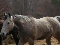athletic Grey Gelding