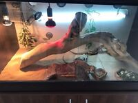 2x 5yr Old Bearded Dragons With Full Set Up