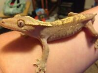 Adult male fancy crested gecko