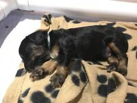 Beautiful F1 Tri and Black Cockapoo Pups