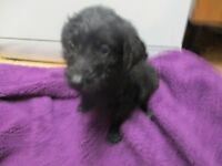 LABRADOODLE PUPPIES READY NOW