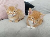 😻😻 2 beautiful male Ginger kittens 😺😸looking for a loving home💝