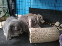 3 x Beautiful Rescued 6-8 month old Dwarf Lop Bunny Rabbits 2 Male, 1 Female (speyed)