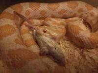 3 Corn Snakes £55! (No housing)