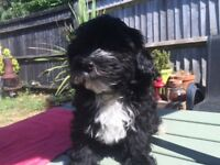 Gorgeous Lhasapoo boy puppy