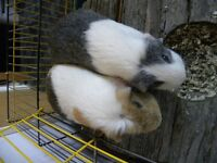 2 Female Guinea Pigs cage and accessories