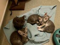 Gorgeous British Shorthair Kittens - LAST ONE REMAINING