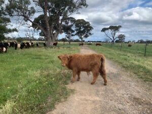 Scottish highlander steers
