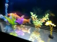 2 Goldfish Pair