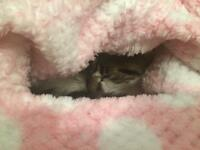 Feline cat 18 months old
