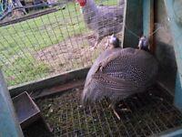 3 guinea fowl