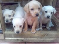 7 labradors puppys for sale