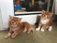 Beautiful red full pedigree Maine coon kittens