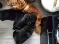 Pomeranian x german spitz puppies