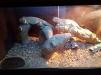2 Bearded dragons with set up