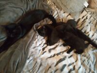 3 Rare & Beautiful Black Kittens From Loving Home
