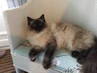 Stunning 1.5 year ild ragdoll female cat
