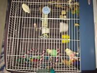 LOVEBIRDS &  CAGE $250