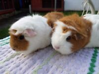 Female Guinea Pigs