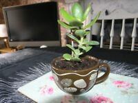 Jade / Money Plant In Large Cup Weymouth