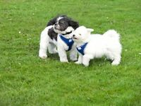 Professional Dog Walker Based in Musselburgh and Covers Surrounding Areas