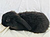 Beautiful baby bunny Rabbit's for sale