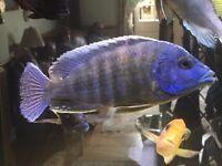 Electric Blue Aulonocara African Cichlids (8-12cm)