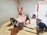 World Renowned Va1 Bloodline German Shepherd Pups