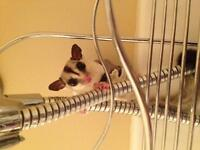 Pair of sugar gliders