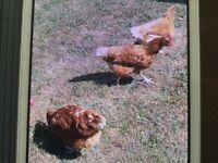 Chickens 🐓 x 4 for sale in bishops stortford